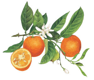 This zesty, uplifting oil is a key component of the 'citrus' blend of Greenscents fragrances and is a natural degreasing agent.